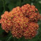 Achillea Desert Eve Terracotta 72  Yarrow USA Product starter plants Zone 4-9