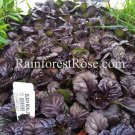Ajuga reptans Black Scallop 72 plants perennial wholesale Bugleweed Zone 3-9