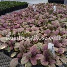Ajuga reptans Burgundy Glow (72) plants +tray WHOLESALE bugleweed Zone 3-9