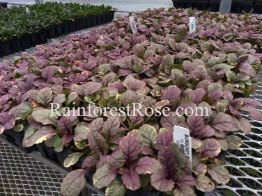 Ajuga reptans Burgundy Glow (72) plants +tray WHOLESALE bugleweed Zone 3-9