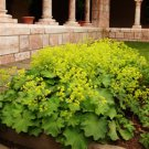Alchemilla mollis Auslese 72 plants Lady's Mantle WHOLESALE USDA Zone 4-7