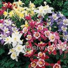 Aquilegia caerulea Origami Mix 72 plants perennial wholesale Columbine Zone3-8