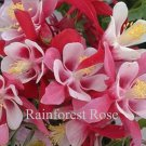 Aquilegia caerulea Origami Red-White 72 plants wholesale Columbine Zone 3-8