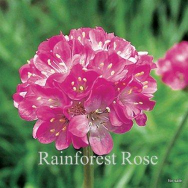 Armeria maritima Splendens 72 plants Product USA Sea Pinks  Zone 4-8