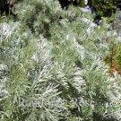 Artemisia arborescens Powis Castle (72) perennial plants Wormwood Zone 5-9