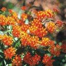 Asclepias tuberosa 72 plants Product USA Butterfly Milkweed FLOWERS Zone 3-9