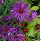 Aster Purple Dome 72 perennial plants Product USA New England Zone 3-9