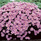 Aster novi-belgii Woods Pink 72 plants Product USA New England Zone 4-8