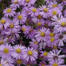 Aster novi-belgii Woods PURPLE 72 plants Product USA New England Zone 4-8