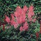 Astilbe xarendsii Erika 38 False Spirea perennial plants plug tray Zone 3-9