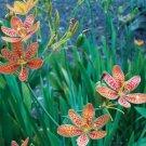 Belamcanda chinensis Iris domestica 38 Blackberry Lily perennial plants Zone4-9