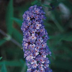 Buddleia davidii Nanho Blue 50 Butterfly Bush perennial plants Zone 5-10
