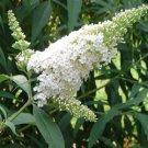 Buddleia davidii White Profusion 50 Butterfly Bush perennial plants Zone 5-10