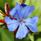Ceratostigma plumbaginoides 72 Leadwort perennial plants plug tray Zone 6-9