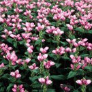 Chelone Hot Lips 72 plants zone 3-9 USA grown Turtlehead perennials