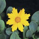 Coreopsis auriculata Nana 72 perennial plants Product USA Tickseed Zone 4-9