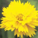 Coreopsis grandiflora Early Sunrise 72 perennial plants tray Tickseed Zone4-9