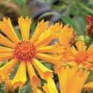 Coreopsis Jethro Tull 50 perennial plants Product USA Tickseed Zone 5-9
