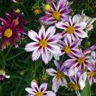 Coreopsis Big Bang Cosmic Evolution 72 perennial plants Tickseed Zone 4-8