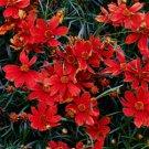 Coreopsis Cruizin Broad Street 72 perennial plants Tickseed Zone 5-8