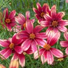 Coreopsis Satin & Lace Red Chiffon 72 perennial plants Tickseed Zone 4-9