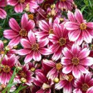 Coreopsis Satin & Lace Berry Chiffon 72 perennial plants Tickseed Zone 4-9