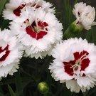 Dianthus Coconut Surprise 72 perennial plants wholesale plug tray Pinks Zone5-8