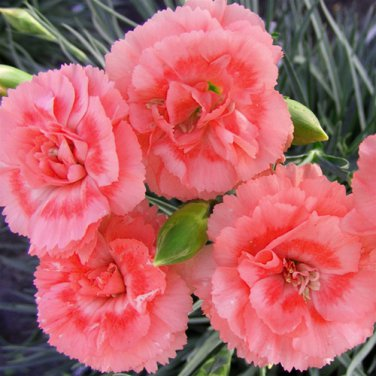 Dianthus Romance 72 perennial plants Product USA wholesale PINKS Zone 5-8