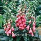Digitalis xmertonensis (72) perennial plants Strawberry Foxglove Zone 6-9