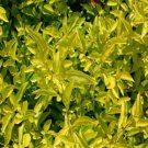 Duranta erecta Cuban Gold 72 perennial plants Dewberry USA Zone 10-11