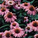 Echinacea purpurea Magnus Superior 72 perennial plants Coneflower Zone 3-9