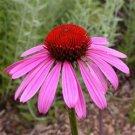 Echinacea purpurea Ruby Star 72 perennial plants USA Coneflower Zone 3-9