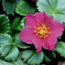 Fragaria Lipstick (50) flowering perennial plants USA grown bulk Zone 3-8