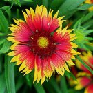 Gaillardia xgrandiflora Goblin 72 plants USA grown Blanket Flower Zone 3-10