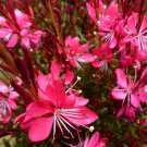 Gaura Whiskers Deep Rose 72 plants USA Wand Flower Product USA Zone 6-10