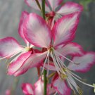 Gaura lindeheimeri Rosy Jane 72 plants USA Wand Flower Zone 5-10
