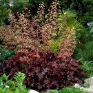 Heuchera Melting Fire 72 plants wholesale perennial Coral Bells Zone 4-9