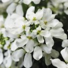 Iberis Snowcone 72 perennial plants wholesale Candytuft Zone3-8