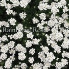Iberis sempervirens Purity 72 perennial plants wholesale Candytuft Zone3-9
