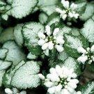 Lamium White Nancy 72 plants Silver Leaves wholesale Dead Nettle Zone 3-8