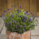 Lavender Lavandula angustifolia Mini Blue 72 plants perennials Zone 5-8