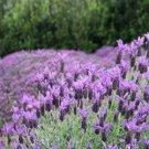 Lavender Lavandula stoechas Otto Quast 72 plants perennials Zone 7-9