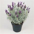 Lavender Lavandula stoechas Silver Anouk 72 plants perennials Zone 7-9