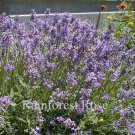 Lavender Lavandula Provence 72 plants fragrant USA grown perennials Zone 5-10