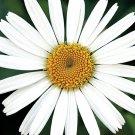 Leucanthemum xsuperba Becky (72) 2003 WINNER plants Shasta Daisy Zone 5-9