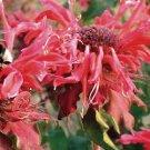 Monarda Jacob Cline 72 perennial plants Bee balm Product USA Zone 4-9 FLOWERS