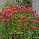 Monarda Gardenview Scarlet (72) perennial plants USA grown Zone 4-9 FLOWERS