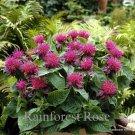 Monarda Pink Supreme (72) plants USA grown perennial lot Zone 4-9 FLOWERS