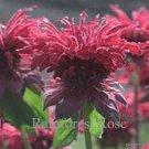Monarda Raspberry Wine 72 plants USA grown perennial Bee Balm Zone 4-9