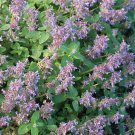 Nepeta Blue Lagoon 72 perennial plants USA grown Catmint starter plant Zone 6-9